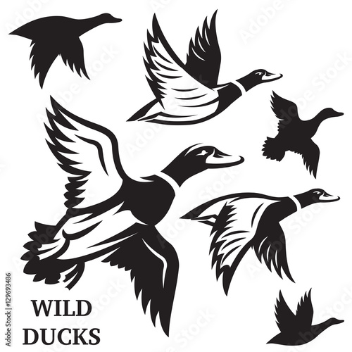 Fotografija Vector set of flying wild ducks. Vector illustration.