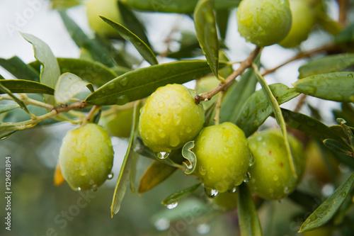 Tuinposter Olijfboom Green Olives