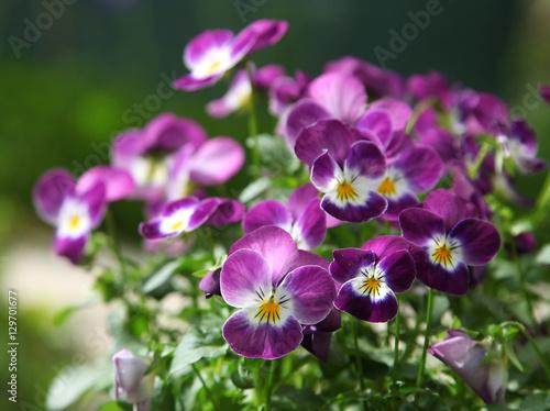 Fotografie, Obraz  Fleurs de Viola cornuta