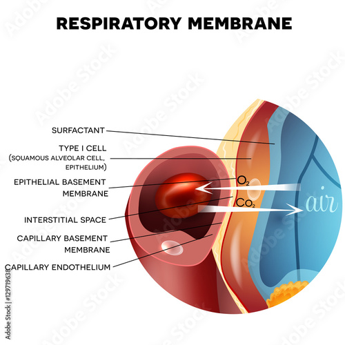 Photo Respiratory membrane of alveolus closeup, detailed anatomy, oxygen and carbon dioxide exchange between alveoli and capillaries, external respiration mechanism