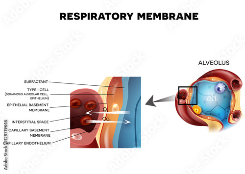 Respiratory membrane of alveolus, detailed anatomy, oxygen and carbon dioxide exchange between alveoli and capillaries, external respiration mechanism Wallpaper Mural