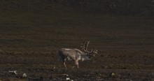 Mature Caribou With Large Antlers Walks Along Coast Of Svalbard
