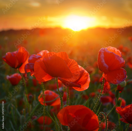 Foto op Canvas Poppy Poppies