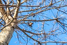 Walnut Fruit On Bare Tree In Autumn