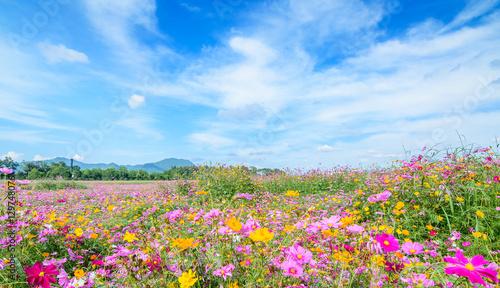Foto op Plexiglas Weide, Moeras Cosmos flower against blue sky, Chiang Rai, Thailand.