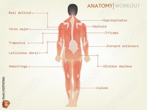 Fotografie, Tablou  beautiful design of human anatomy back side with description