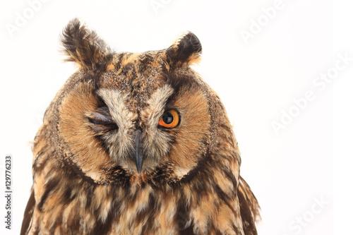 Papiers peints Chouette portrait owl
