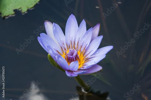 Poster de jardin Nénuphars Water lilies