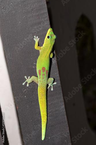 Poster Chamaleon Gold dust day gecko, Phelsuma laticauda, northern Madagascar