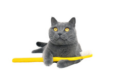 British Shorthair Cat With Yel...
