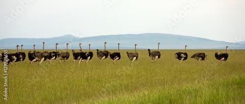 Foto op Plexiglas Struisvogel Ostrich in line, Kenya