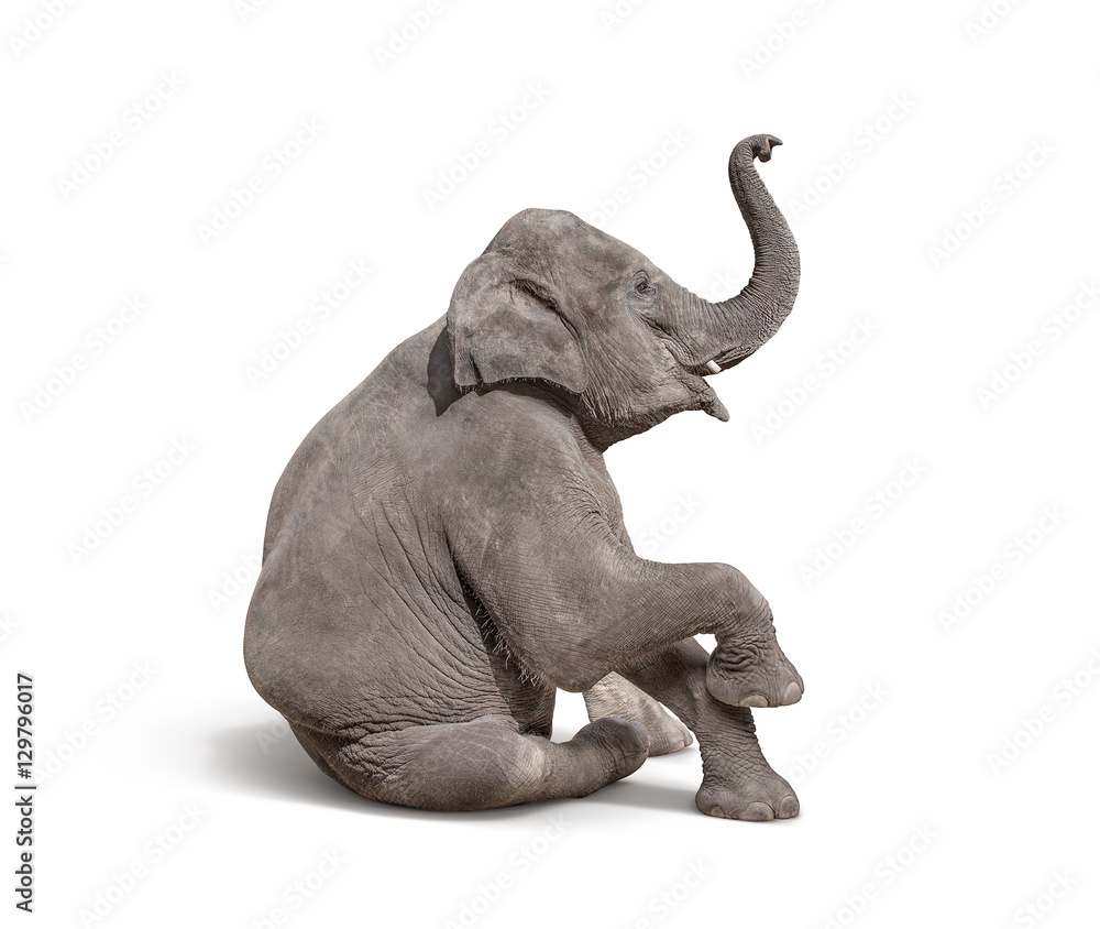 young baby elephant sit down to show isolated on white backgroun