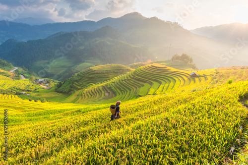 Poster Jaune Farmer in Rice fields on terraced of Vietnam. Rice fields prepare the harvest at Northwest Vietnam.Vietnam landscapes.