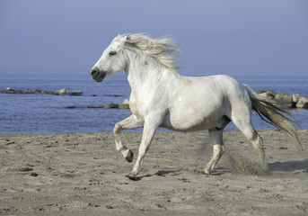 White Stallion Running on the Beach