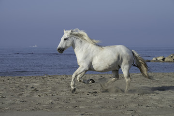 White Stallion Running on the Beach
