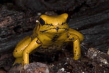 Golden Poison Frog, Phyllobates Terribilis Is Probably The Most Poisonous Frog, Lives In Colombia