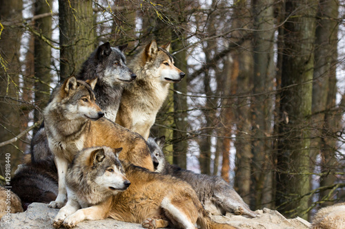 Foto op Canvas Wolf Wolf pack