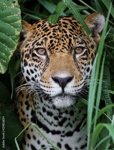 Deurstickers Luipaard Jaguar in Amazon Forest