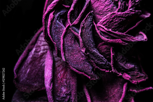Fotografía  Vintage faded purple withered rose in macro