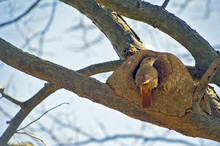 Rufous Ovenbird Entering Its Nest Made Of Clay
