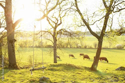 Foto op Aluminium Zwavel geel Sweden, Sodermanland, Jarna, Empty rope swing and cows grazing in pasture