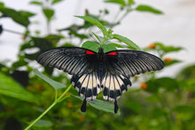 Great Mormon (Papilio Memnon), A Large Butterfly Belonging To The Swallowtail Family, Found In Southern Asia