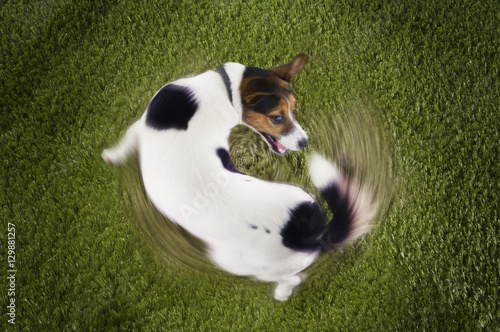 Photo Elevated view of Jack Russell terrier chasing tail view on grass
