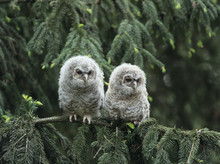 Two Owlets Perching On Tree Br...