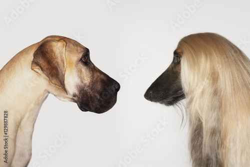 Photo Side view of Great Dane and Afghan hound face to face against white background