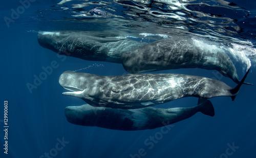 Fototapeta premium Strąk kaszalotów pod wodą w Oceanie Atlantyckim Azorów