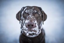 Brown Labrador Retriever Looki...