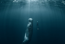 Sperm Whale And Freediver
