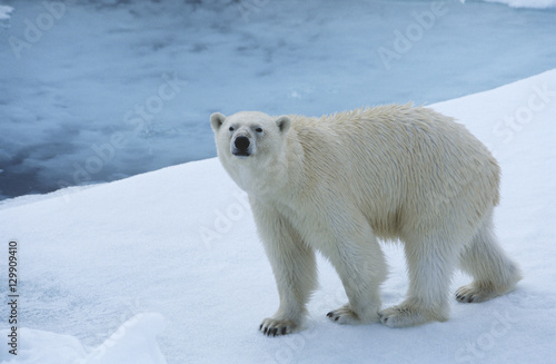 Tuinposter Ijsbeer Polar Bear on Ice Yukon