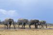 Four African Elephants (Loxodonta Africana) in a row