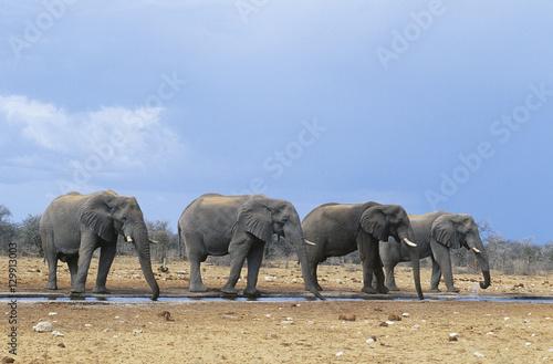 Foto op Plexiglas Afrika Four African Elephants (Loxodonta Africana) in a row