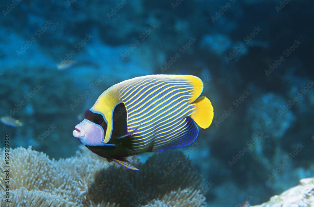 Emperor Angelfish over coral