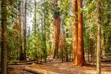 Sequoia National Park At Autumn
