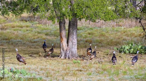 Wild Turkeys in Texas ranch country