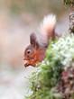 Red Squirrel feeding on nuts