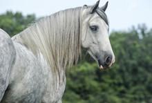 Gypsy Vanner Horse Mare Portrait
