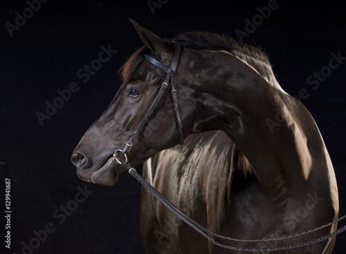 Fototapety, obrazy: Oldenburg Warmblood mare with bridle