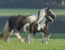 Gypsy Vanner Horse Mare And Foal By Pond
