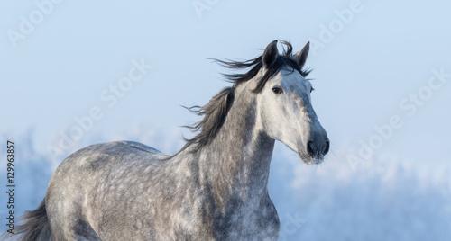 Fototapeta Portrait of Spanish horse on background of blue sky obraz na płótnie