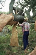 Old Cork Oak Is Stripped, Sardinia