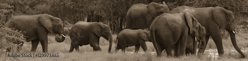 Elephant Herd Walk in Line SEPIA Wallpaper Mural