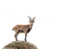 Young Alpine Ibex Male Isolate...