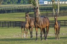 Thoroughbred Horse Mares With Foals In Large Pasture