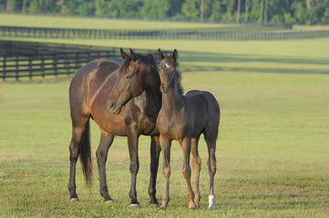 thoroughbred horse mare with foal in large pasture