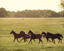 Thoroughbred Yearlings Race Ac...