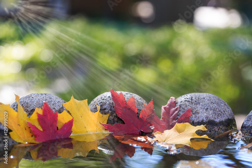 Acrylic Prints Roe Red and yellow maple leaves in the water of a pond.